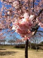 4月 花見 (鹿島城山公園)